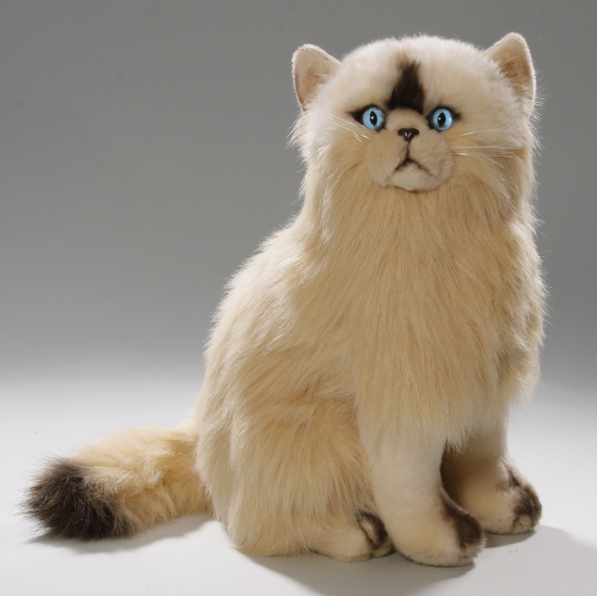 Cat, Persian, Himalayan sitting creme