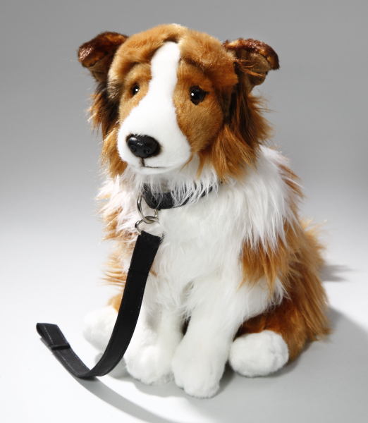 Shetland Sheepdog (Collie) white-brown sitting with lead