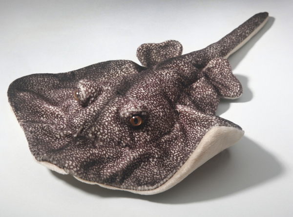Batoidea, Grey Stingray