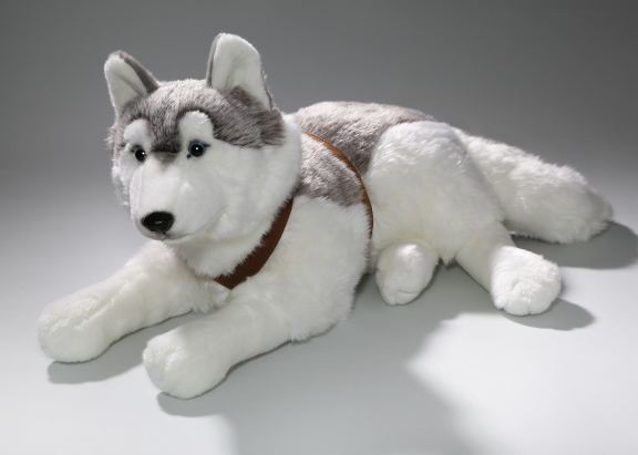 Husky lying with belt